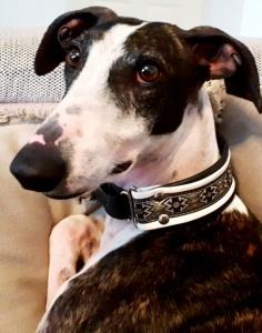 Greyhound Dali
